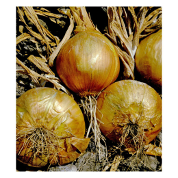 Onion Yellow 1 lb