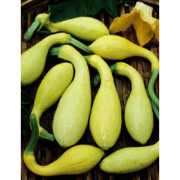 Golden Summer Crookneck Squash