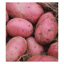 Potato Red Pontiac 1 lb