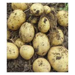 Potato Yukon Gold 1 lb